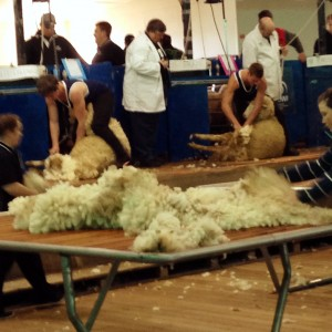 shearing at Bendigo